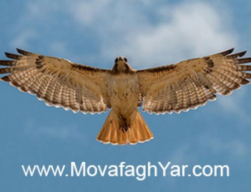 داستان شاهین شکاری و پرواز ناگهانی!
